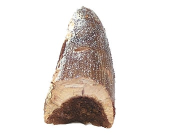 Fossil Crocodile Prehistoric Tooth Very Ancient Primeval Animal Life organic stone Artifact, Cretaceous of Morocco Sarcosuchus, African