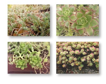 Sedum Photo Set, Succulent Photography, Garden Green Nature Print set, Sedum Art, Stonecrop Photo Print Set, Sedum Botanical Prints