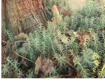 Tree and Sedum Photo Art, Nature Succulent Photography, Garden sedum Photo, Garden Nature Print, Sedum Art, Organic Photo Art Prints
