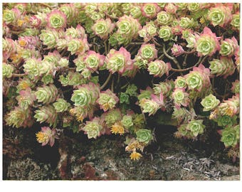Garden sedum Photo, Stonecrop Wall Art,  Succulent Nature Photography, Garden Nature Print set, Sedum Art, Photo Art Prints