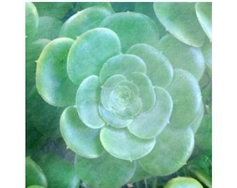 Green Summer Sedum Photo, Mint Green Succulent Photo,  Sedum Print,  Nature Sedum Art, Dining Room Art, Kitchen Art, Organic Plant Print