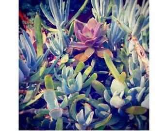 Succulent Photo in Blues and Purples, Botanical Sedum Print,  Nature Photo Sedum Art, Dining Room Art, Kitchen Art, Organic Plant Print