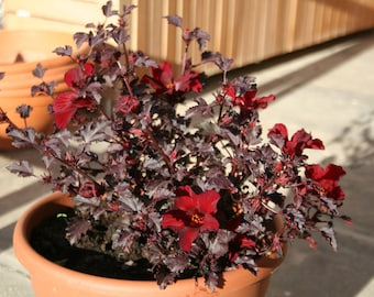 Red Leaf Hibiscus Etsy