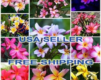 Seller Free Shipping /'Get it Fast/' No Need To Wait 50 Rare  MOUNGMAI  PlumeriaFrangapani Fresh Seeds Latest Unique Variety U.S.A
