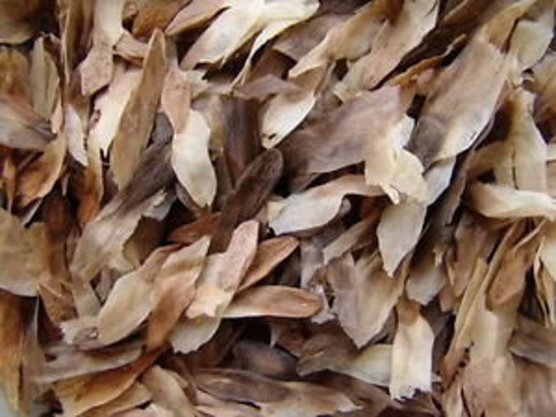 7 Fresh \u201cLURLINE\u201d Plumeria Seeds New-Vibrant-Rare USA Grower /& Seller-Ships Free SEVEN