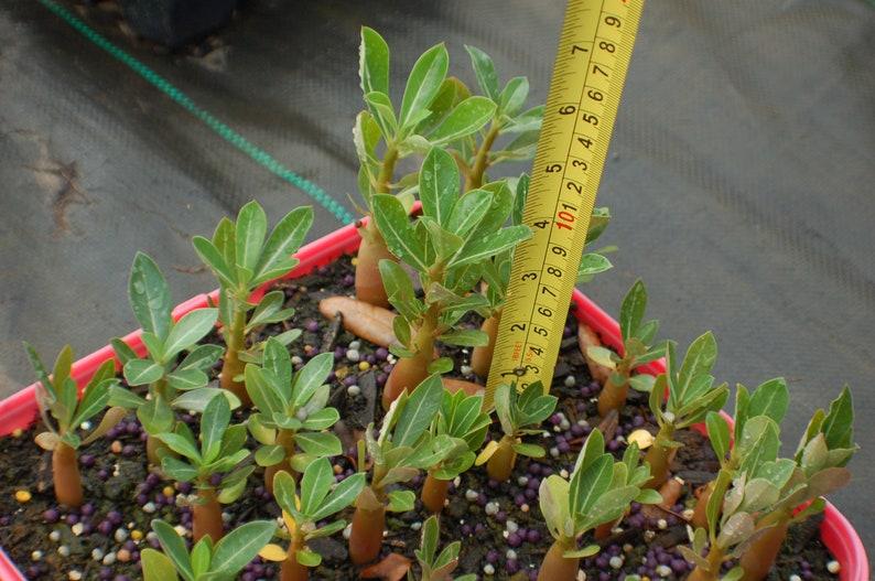 Rare /& Unique /'JARUNTONG/' #98 Well Rooted Healthy AdeniumDesert Rose Seedlings Free Shipping 3 USA Grower-Seller Three