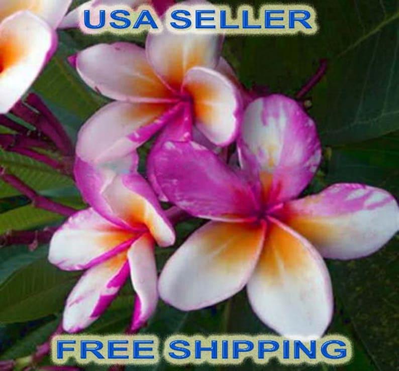 Seller Free Shipping /'Get it Fast/' No Need To Wait 50 Rare  NGAMVILAI  PlumeriaFrangapani Fresh Seeds Latest Unique Variety U.S.A