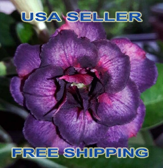 Purple White Perennial Desert Rose Seeds Fast Growing Adenium Obesum Desert Rose Seeds #WealthSummary1 4 Desert Rose Seeds