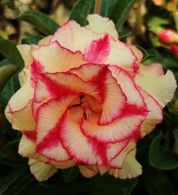 """Adenium Obesum Desert Rose /""""Moung Dum/"""" 100 Seeds"""