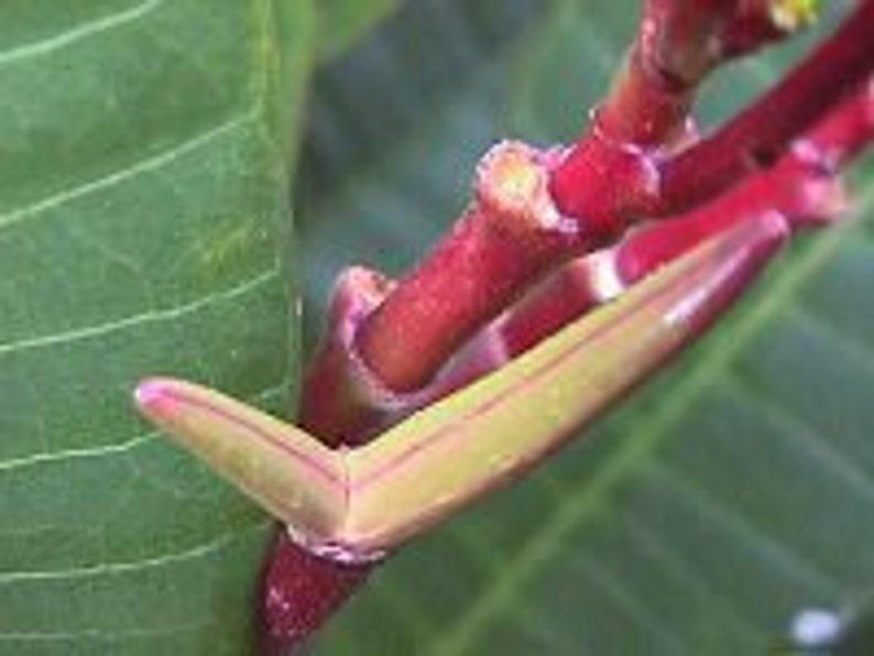 25 Fresh \u201cPORNSAWAN\u201d Plumeria Seeds New-Vibrant-Rare USA Grower /& Seller-Ships Free