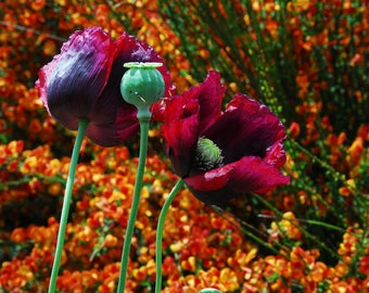 Mixed Poppy Seeds, Breadbox Poppies in Mixed Colors, Papaver somniferum Seeds, Breadseed Poppy, Cottage Garden Flower Seeds, Easy to Grow
