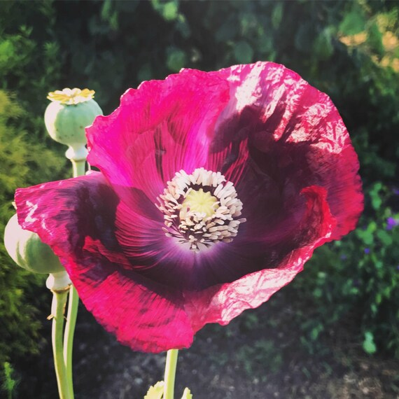 lauren s grape poppy seed organic purple poppies etsy