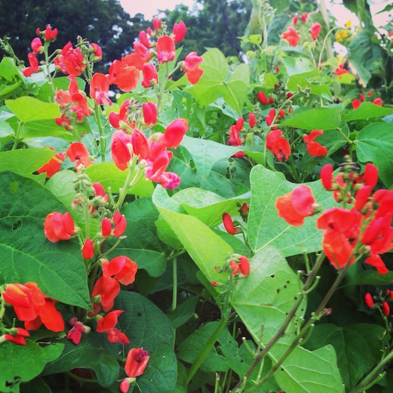 Scarlet Runner Bean Heirloom Pole Beans Scarlet Emperor | Etsy