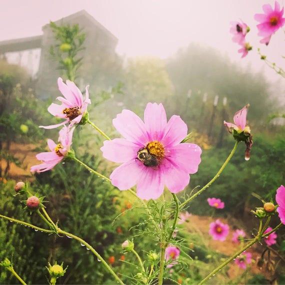 Pink cosmos seed cosmos bipinnatus seeds pink wildflowers etsy image 0 mightylinksfo