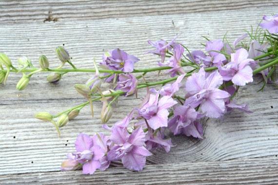 larkspur seed purple larkspur pale lavender larkspur earl etsy