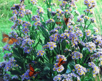 Aster Tataricus, Butterfly Plant, Tatarian Aster in Four Inch Pot Monarch Butterfly Favorite, Native Plant Great for Sunny Gardens