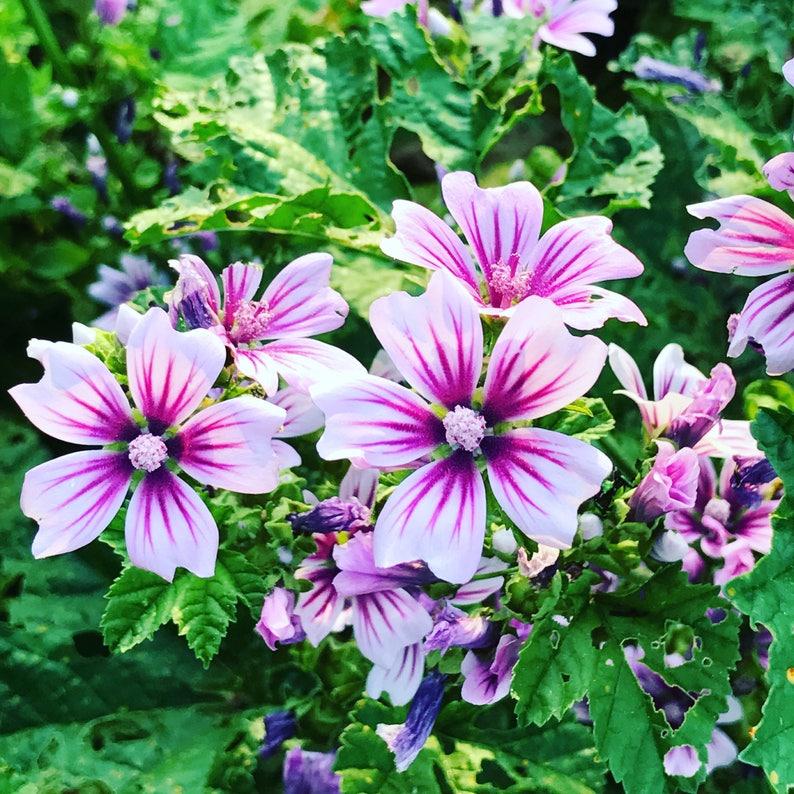 ad3c0f7e5e Malva sylvestris Zebrina Mallow Seeds Old Fashion Flower