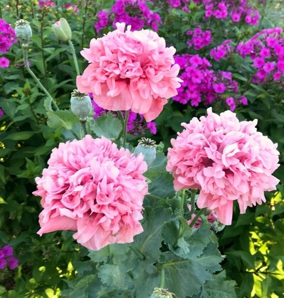 Peony Poppy Seeds Pink Poppies Double Poppy Flower Seeds Etsy