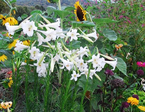 30 PINK FORMOSA LILY SEEDS giant 5-6 foot tall Lilium formosanum