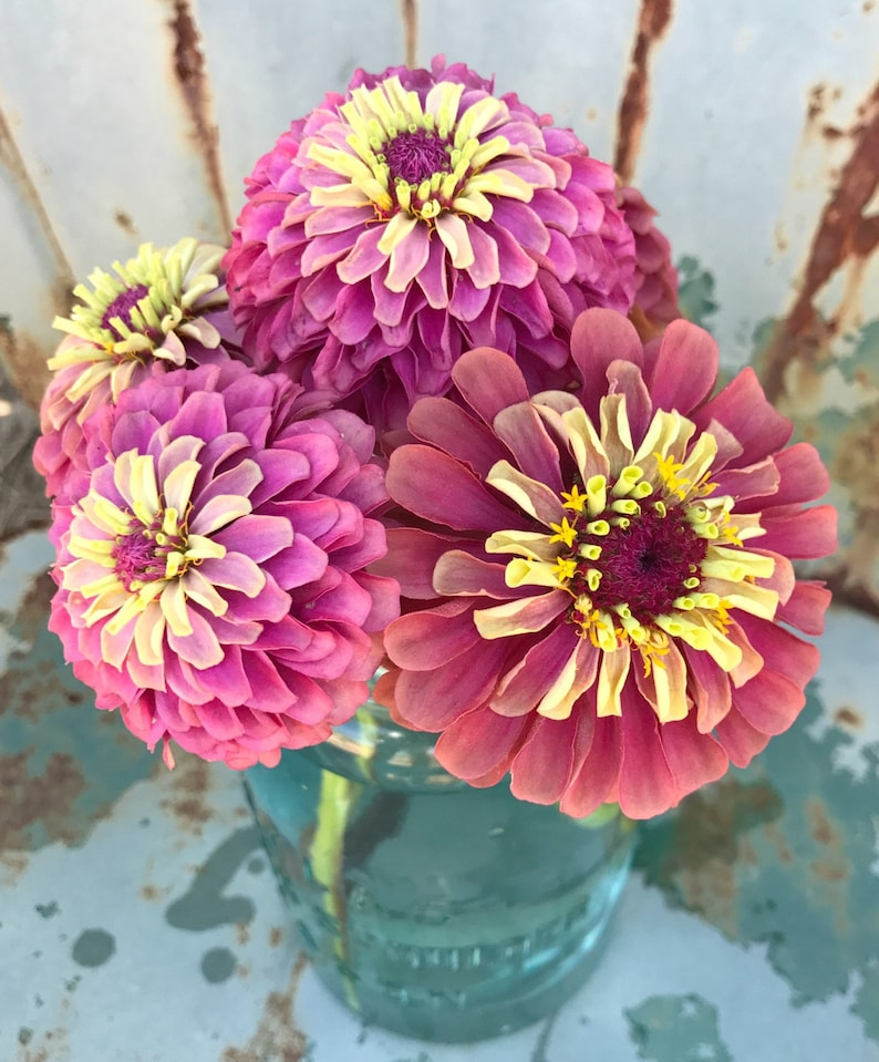 Queen Red Lime Zinnia Heirloom Zinnia elegans Great for Cut image 0