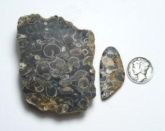 Turritella agate rough small end cut chunk, 60 x 48 x 20 mm, sea shells, Elimia agate, natural.   (rc121904)