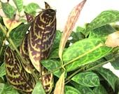 Aeschynanthus Longicaulis, rare live, Hoya plant, Exotic Hoya Philodendron, Marmoratus, Black Pagoda (Zebra) Basket Vine, Lipstick Vine