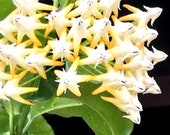 Shooting Star Hoya plant, 4 or 6 inch grown well rooted, Healthy plant, Wax plant, Hoya Multiflora, Evergreen plant, Bi-Color plant, Hoya