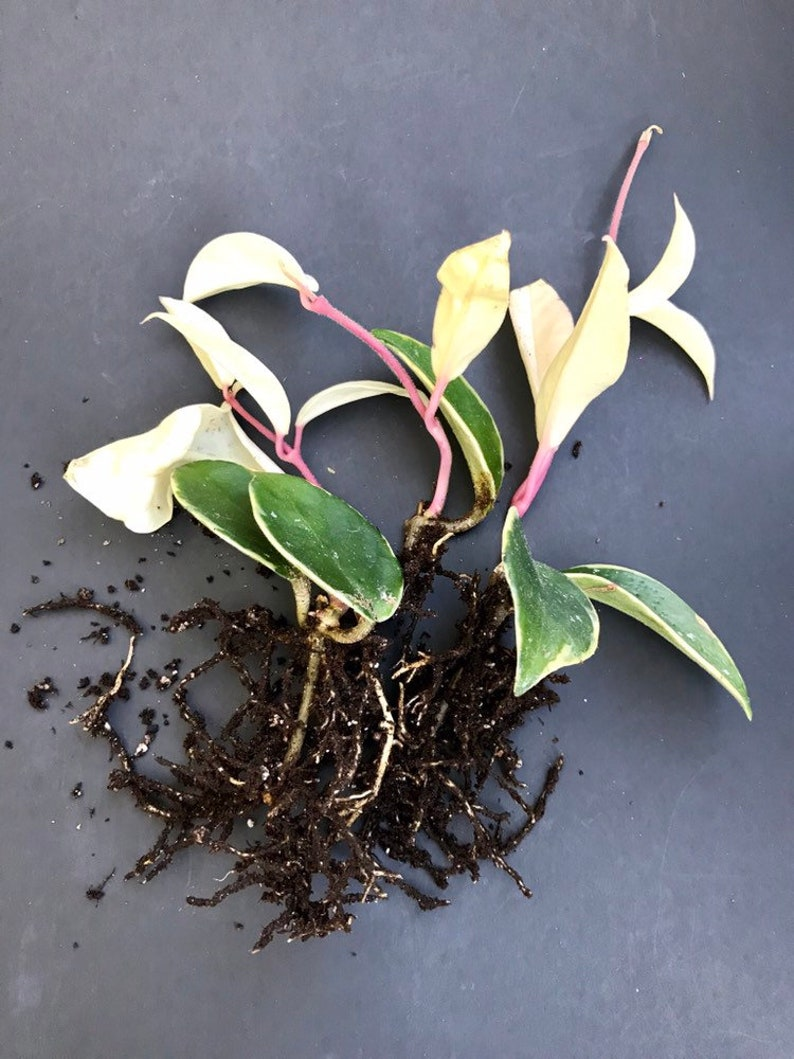 Rooted Hoya Carnosa Variegata Rare colorful Wax Plant Krimson Queen Rare Beautiful Variegated rooted Plant 4or 6 fully rooted
