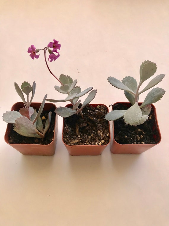 Silver Gray Kalanchoe Pumila Exotic Succulent, 2 or 6 inch live rooted on perennial silver foliage plants, silver grey and yellow wedding bouquet, silver weeping pear tree, white hosta plants, grey leaf plants, grey garden plants, white leaf plants,