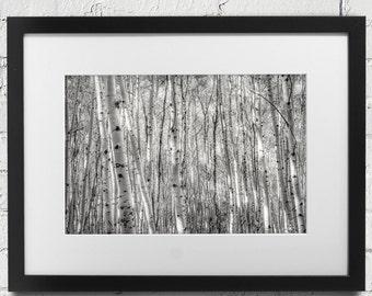 Park City Aspen Trees in Park City, Utah.  Aspen Grove Black and White