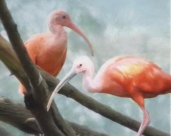 Bird Art Print, Scarlet Ibis,  Tropical Red Birds, Water Birds, Wading Bird, Square Art Print, Bird Lover, Ibis, Bird Painting