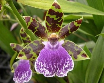 Zygopetalum Jumpin Jack orchid, blooming size