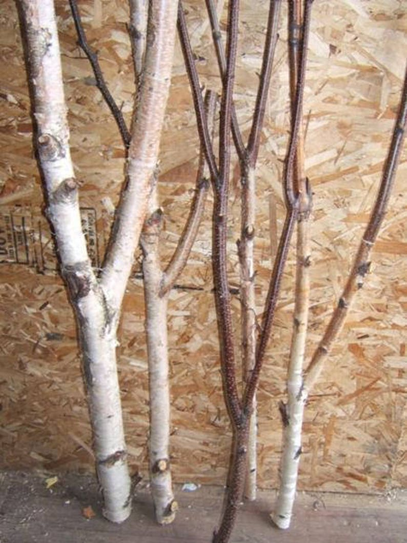Birch Forked Limbs    5  5' to 6' tall image 0