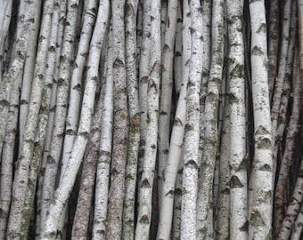 """White Birch Poles/Logs Two Poles/logs 1"""" to 2"""" D x 4 ft"""