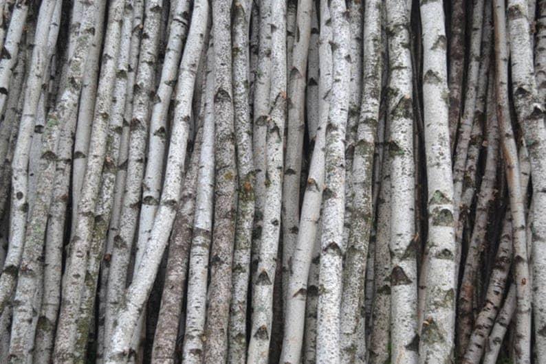 White Birch Poles/Logs Two Poles/logs 1 to 2 D x 4 image 0