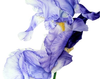 Iris Art Print, Large Botanical Print, Watercolor Print, Gift For Her, Original Painting, Wall Art, Blue iris Painting, Watercolor Flowers,