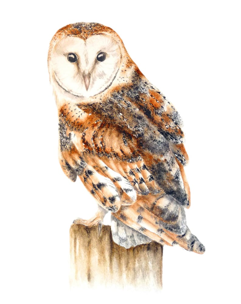 Barn Owl Large Fine Art Print Owl Painting Watercolour Owl