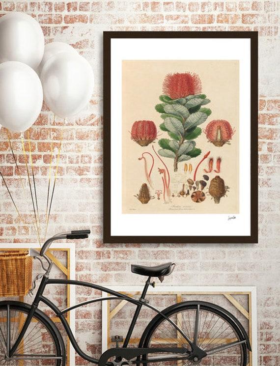Banksia Coccinea (Ferdinand Bauer)  Vintage (digital download)PRINTABLE Art,Australian Vintage,Vintage tree, Vintage Illustration, tree art