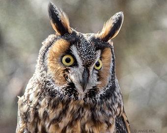 Owl Photography Print, Long Eared Owl, Bird Home Decor Art Print, Large Wall Art, Rustic Nature Print, Bird Lover Art, Owl Decor