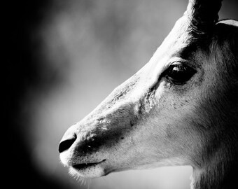 Impala Fine Art - Monochrome Animal Photography - Black and White Wildlife Home Decor - Wall Art Contemporary Photography