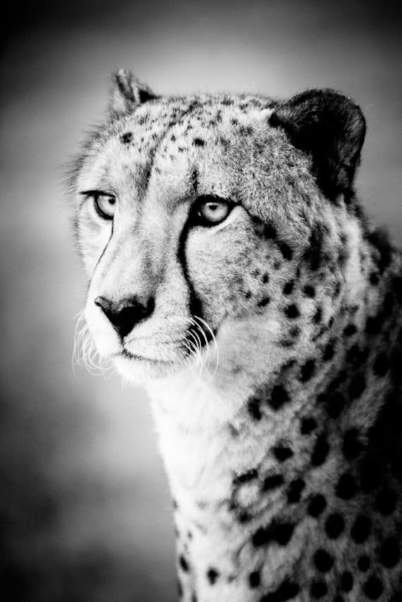 Photography cheetah black and white images