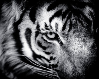 Tiger Fine Art - Monochrome Animal Photography - Black and White Wildlife Home Decor - Wall Art Contemporary Photography