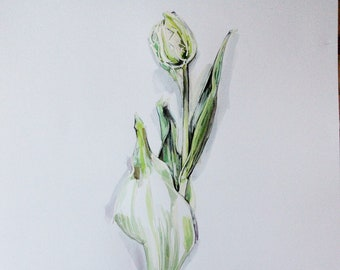 White and green tulip with bulb