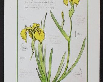 Sweetflag Iris -- botanical art notecard, blank