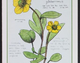 Sagebrush Buttercup -- botanical art notecard, blank