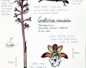 Spotted Coralroot Orchid -- botanical art notecard, blank