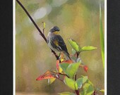 Warbler - Matted Print 11 x 14