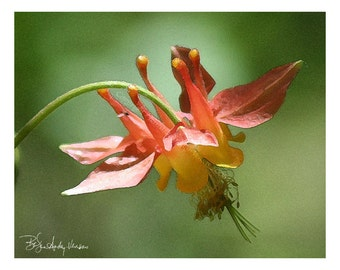 10 Red Columbine Blank Note Cards
