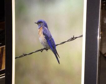 Bluebird - Matted Print 11 x 14