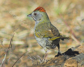 10 Green Tailed Towhee Blank Note CardS